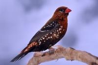 Bengali rouge phénotype sauvage_1