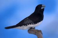 Capucin bicolore à dos noir