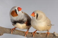 Diamant mandarin brun couple_1
