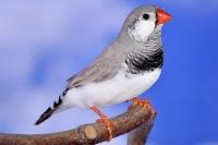 Diamant mandarin dos pâle gris joues blanches mâle