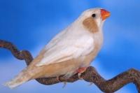Diamant mandarin isabelle gris poitrine noire poitrine orange femelle
