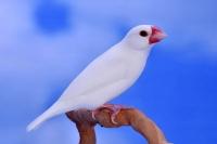 Padda de Java blanc_1